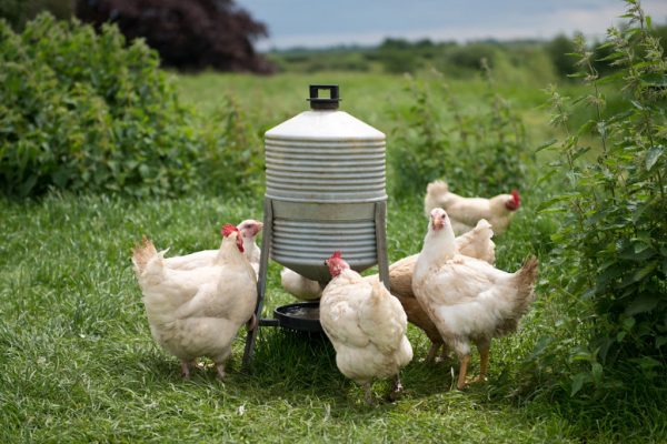 Chicken feeder adaptation